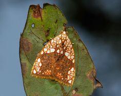 Nolid Moth (Gabala argentata, Chloephorinae, Nolidae) |