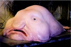 The blobfish (Psychrolutes marcidus) is a deep sea fish of the family Psychrolutidae. It inhabits the deep waters off the coasts of mainland Australia and Tasmania, as well as the waters of New Zealand.