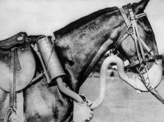 circa 1943: A US Army cavalry horse sporting a new type of gas mask, developed by the US Army Chemical Warfare Service, which supplied enough air to walk, trot, or gallop in action. (Photo by Keystone/Getty Images)