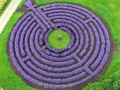 Лаванда растения хеджирования |сад Eaden