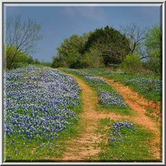 dirt roads texas | Red dirt ranch road with bluebonnets (lupine), view from Road 308 ...