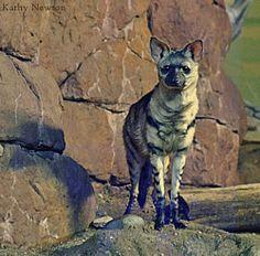 The Watchful Aardwolf