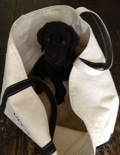 Lab puppy in #LLBean Boat and Tote - photo via Twitter @shanegoesforth