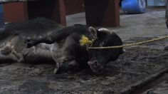 Exposed: The Mexican Government Bludgeons Animals to Death https://youtu.be/PEmQ5JHRB_o via @YouTube