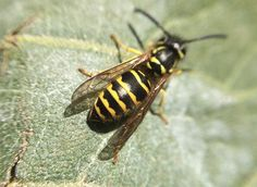 Jacket Alert: Take the Sting Out of Fall Prevent yellow jackets, eliminate yellow jacket nests, treat yellow jacket strings. Wasp Sting Swelling, Yellow Jacket Bee, Yellow Jackets, Bee And Wasp Stings, Wasp Nest, Red Filter, Old Farmers Almanac, Bees And Wasps