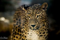 The Leopard by Or Many on 500px