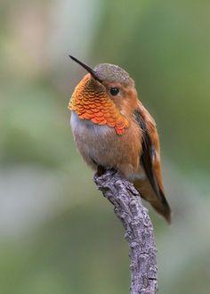 Rufous Hummingbird #hummingbird http://livedan330.com/2015/03/30/5-steps-to-feeding-a-hummingbird-by-hand/