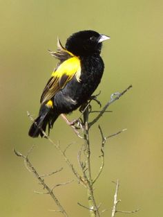 Yellow Bishop (Euplectes capensis)
