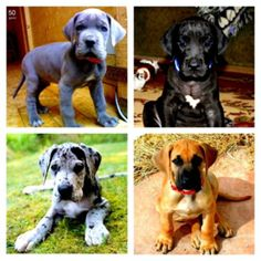 Great Dane Puppies- Can't decide which one I want.