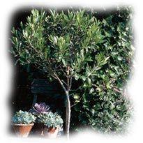 olivier en bac