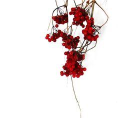 highbush cranberries (mary jo hoffman)
