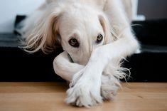 saluki. hounds = love.
