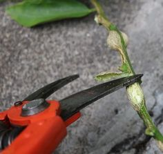 slicing side off citrus gall