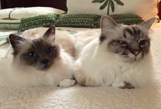 "Meet ""Miss Goodie 2 Shoes"" and ""Dusty"" - The Woodlands, TX.  Beautiful kitties!"