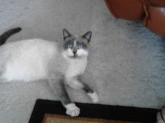 Pretty kitty cat shows up at our door this morning: http://www.bubblews.com/news/1886790-a-beautiful-gray-and-white-kitty-with-blue-eyes-showed-up-on-our-doorstep-today