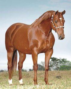 cavalo quarto de milha baio amarilho - Pesquisa Google