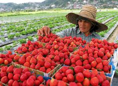 What you should expect on your trip to Baguio Strawberry Farm? - Travel Philippines Now Tourist Spots, Vacation Spots, Strawberry Farm, Baguio City, Red Fruit, Philippines, Strawberries, Fun, Veggies