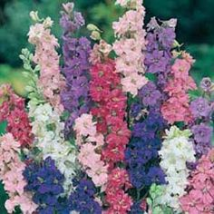 Larkspur Imperial Giant Mix(Larkspur consolida ambigua; also called annual delphinium) Beautiful flower spikes on plants that can grow to 4 feet tall and covered with lovely flowers in shades of pink, lilac, white, blue and rose.