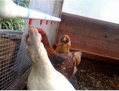 The Chicken Chick: Chicken Nipple Waterer DIY Instructions- Clean Water is Always a Tap Away