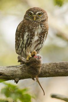 Austral Pygmy Owl (Chuncho) Patagonia- Chile