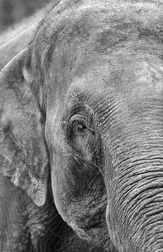 An elephant's trunk is both an upper lip and a nose, and it has more than 40,000 muscles in it.