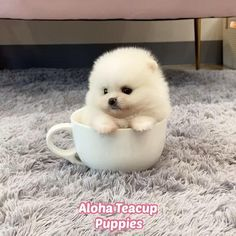 Pomeranian For Sale, White Pomeranian, Teacup Puppies For Sale, Teacup Pomeranian, Puppy Party, Cute Baby Animals, Tea Cups, Bear, Bears