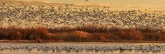Snow Geese, Sunrise Blastoff - Bosque del Apache 1/07/13. by Steve Yabek