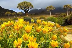 Photo about Landscape with wild flowers and quiver trees (Aloe dichotoma), Namaqualand, South Africa. Pictures Of Spring Flowers, Spring Photos, Champs, Daisy Field, Flora, Flower Landscape, Landscape Design, Flowering Trees, Africa Travel