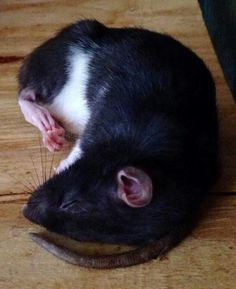 Sleeping rat <3