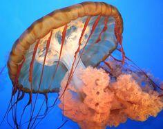 jellyfish, medusa, sea, nature, sea creature, creature marine