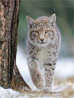 A walk by Abc-foto  #animals #nature #lynx