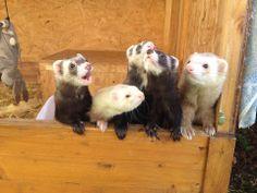 Box of Ferrets