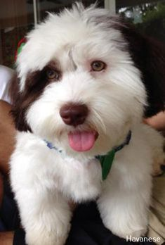 The Cheerful Havanese Puppy Grooming Havanese Puppies For Sale, Havanese Dogs, Cute Puppies, Pet Dogs, Dogs And Puppies, Doggies, Westie Puppies, Vizsla Puppies, Beagle Dog