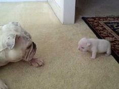 Elvis the Bulldog Puppy gives his mom Patches a few choice words. Related: Goofy Bulldog mom plays along with sassy puppy (VIDEO) Bulldog puppy 'scares' his mother (VIDEO) Bulldog Puppies, Cute Puppies, Cute Dogs, Dogs And Puppies, Doggies, Animals And Pets, Baby Animals, Funny Animals, Cute Animals