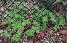 pictures of noxious weeds in WA - Google Search