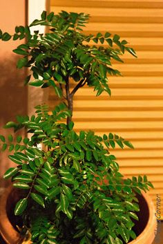 Watering tips for curry leaf plant while you are not home.