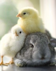 cute bunny and chicks