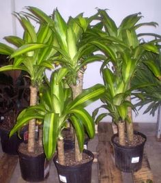 Dracaena fragrans 'Massangeana' (Corn Plant) - shade, 3-15' x 2-3', avg moisture, zone 10b, drought tolerant, wide variety soils (organic preferred), don't o/water as root rot can cause death.