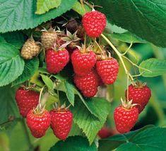 Tratament de combatere Paduchele din San Jose - generatia de iarna Strawberry, Fruit, Food, Plant, Essen, Strawberry Fruit, Meals, Strawberries, Yemek