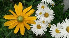 Rubeckia and daisy