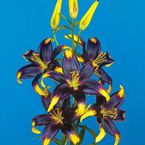 Black Gold Lily..have not seen this color in lily's. These beautifully colored lilies are almost black in the middle with a yellow-tipped edge. Perfect for cut flowers but also a good choice for naturalizing areas and cottage gardens.