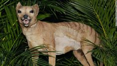 The Tasmanian tiger, a large striped carnivore, is believed to have gone extinct over 80 years ago -- but newly released Australian government documents show sightings have been reported as recently as two months ago. Good News Stories, Sad Stories, Predator, Tasmanian Tiger, Loch Ness Monster, Live Animals, Extinct Animals, Questions, People