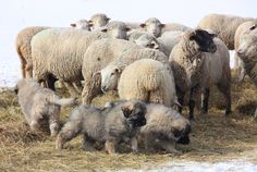 """""""The dilemma of 'hands on or hands off"""" training."""" A blog about ranching in Alberta, (Canada) sheep, cattle, livestock guardian dogs, sarplaninac, border collies predators and wildlife."""