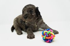 Labradoodles of Montana is dedicated to the breeding and the sale of miniature/medium australian labradoodles. See our website to see what puppies are for sale. Australian Labradoodle Puppies, Labradoodles, New Puppy, Montana, Lion Sculpture, Statue, Dogs, Doggies, Sculpture