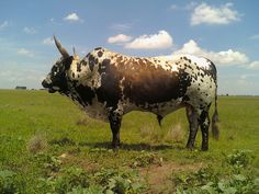 Buffalo Bulls, Chicken And Cow, African Buffalo, African States, Dairy Cattle, Beef Cattle, Loose Skin, Ranch Life, Friesian