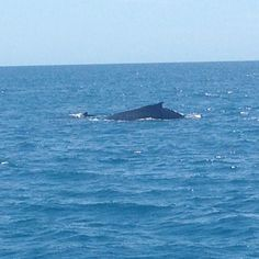 Hervey Bay is a great place to come and see the Whales, as Fraser Island protects the Bay from the ocean swell Stuff To Do, Things To Do, Fraser Island, Come And See, Whales, Great Places, Ocean, Activities, Animals