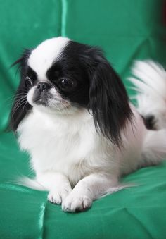 Japanese Chin Grooming, Bathing, and Care