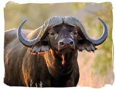 The Buffalo... such a beautiful animal and one of the Big Five of Africa.
