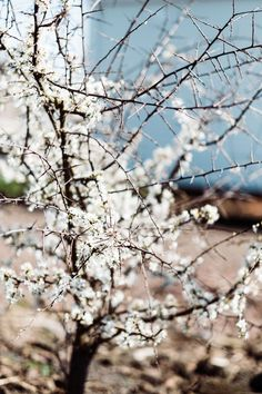 The delicate white blossom on the small tree on the side of the road grabbed my attention as I walked by. How fierce yet delicate and an absolute beauty! Blooming Trees, Small Trees, Family Portraits, Portrait Photographers, Delicate, Spring Summer, Spirit, Ice, Outdoor