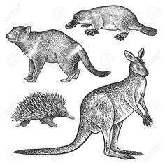 Tasmanian devil, platypus, wallaby or kangaroo, echidna hand drawing set. Animals of Australia series. Object of naturalistic sketch. Kangaroo Craft, Kangaroo Logo, Kangaroo Illustration, Illustration Art, Kangaroo Drawing, Baby Platypus, Scientific Drawing, Australia Animals, New Zealand